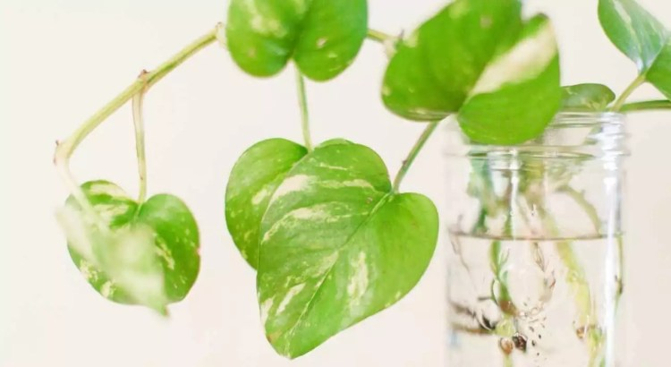 Fertilizers for money plant in water