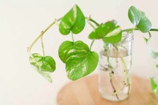 why and when to use homemade fertilizer for money plant in water