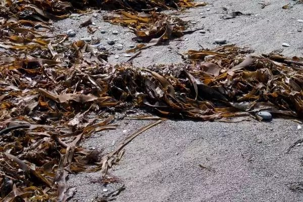 Mix seaweeds with water to make homemade liquid fertilizer for money plant