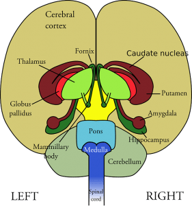 Natural remedies for anxiety: brain structure