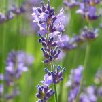 Natural Remedies for Anxiety: Lavender