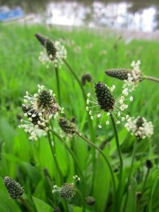 Bloating and constipation can be relieved with psyllium obtained from plantago