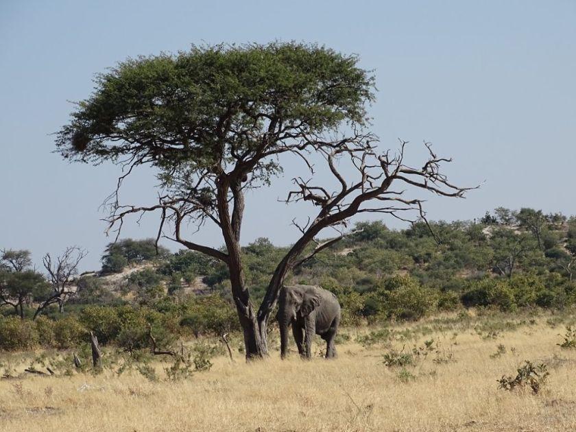 Elefant Marula Baum