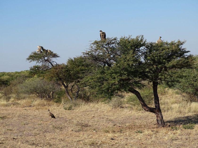 Geier Kalahari