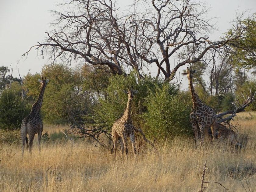 Giraffen Afrika Savuti Botswana