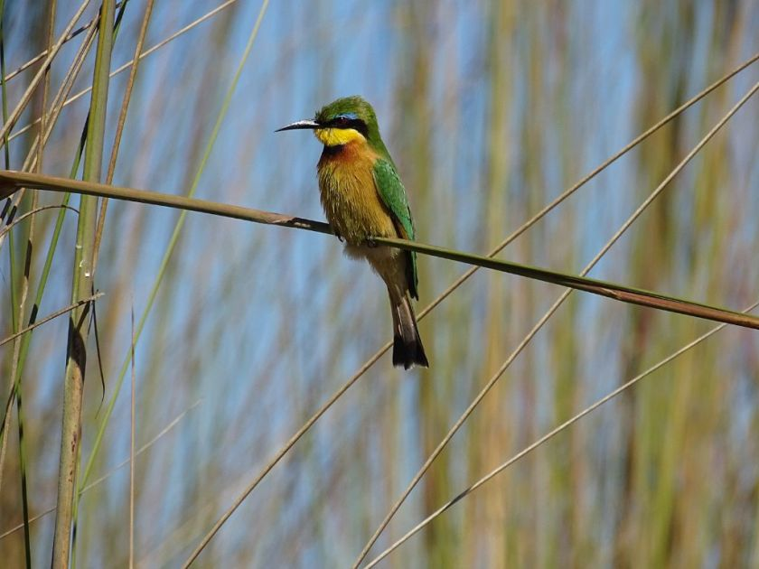 Little Bee Eater Okavango Delta