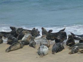 Seehunde Blasket Island