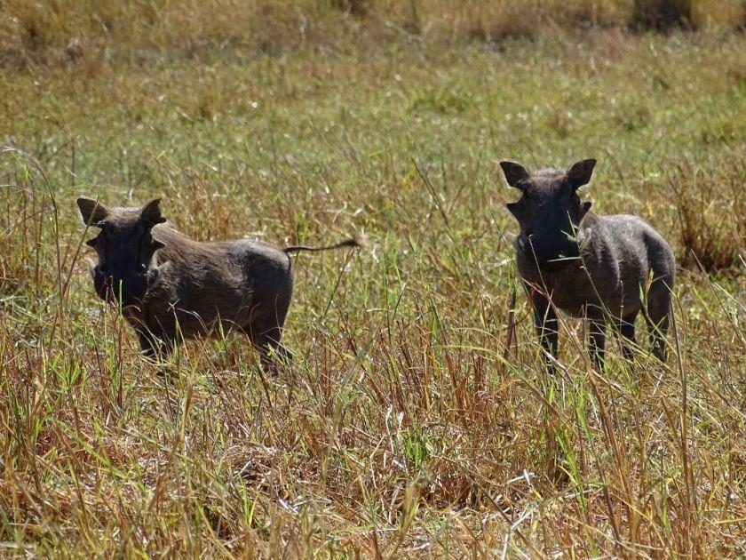 Warzenschweine Okavango Delta