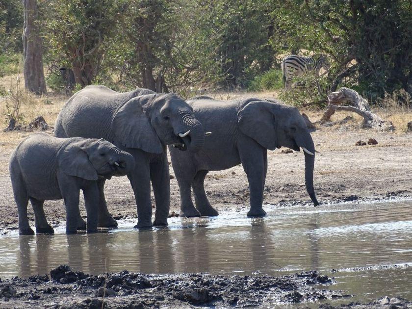 Wasserloch Elefanten Savuti