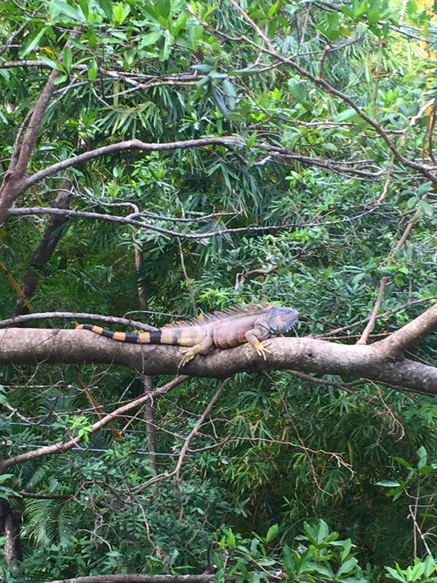 things to do in Roatan see iguana