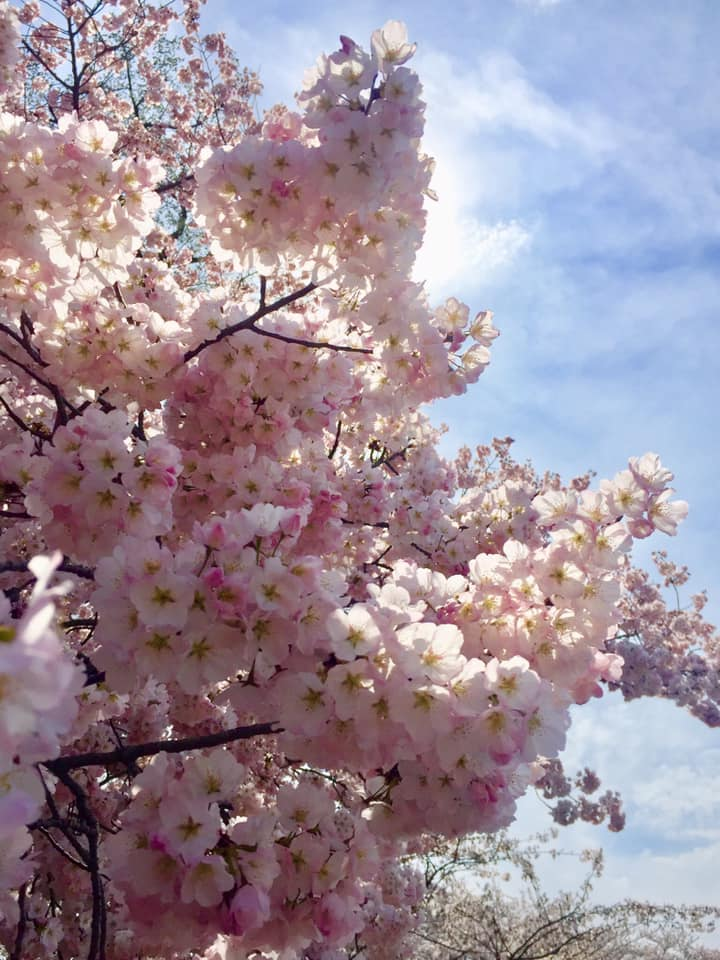 The sun peeking through cherry blossoms.
