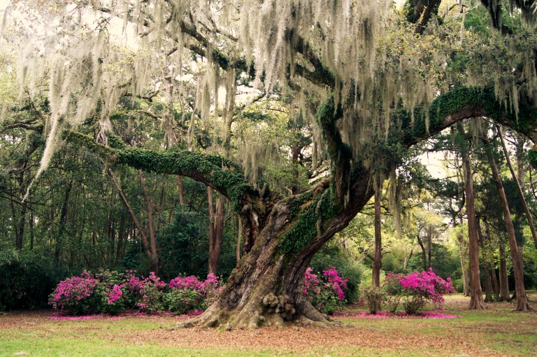 The Cleveland Oak in Jungle Gardens on Avery Island in Louisiana.