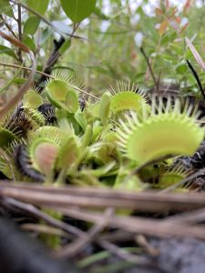 Finding Venus Flytraps at Carolina Beach State Park.