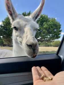 The overly friendly llama at Topsey Exotic Ranch.