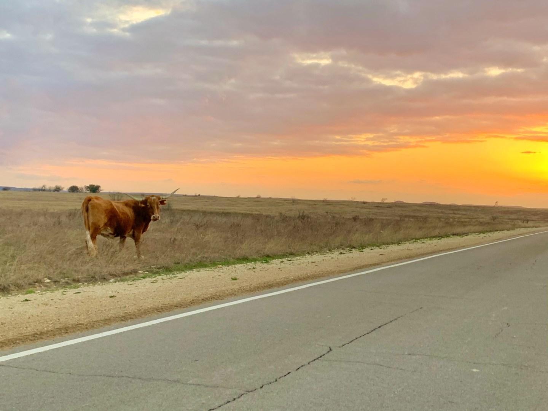 Fort Hood Bucket List: See a free-range cow roaming around Fort Hood.