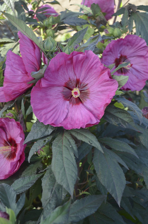16 Perennials That Attract Hummingbirds to Your Garden! 16 Perennials That Attract Hummingbirds to Your Garden! Rose Mallow Hibiscus #Perennials #Garden #Gardening #Landscape #PerennialsForHummingbirds #Hummingbirds #Pollinators #GardenPollinators