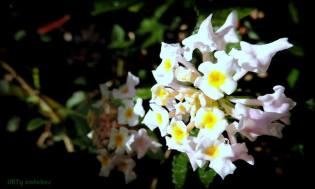 FindingTheVoices_WhiteFlowers (10)