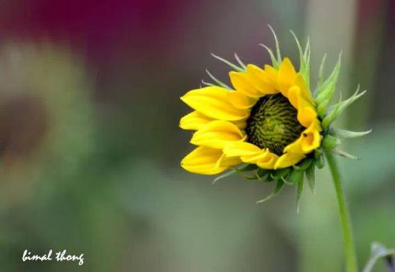 Missing the sunshine on a cold friday morning with snow every where. But we have a beautiful picture of a sunflower cheering us up. Happy Friday everyone. A photograph by Bimal Thongam