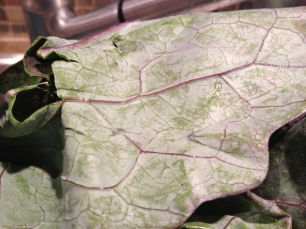 kohlrabi greens leaves upclose