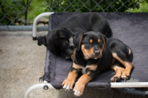 Unnamed - black & tan male, 2 months