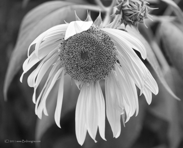 Sad Sunflower Black and White Fine Art print and Canvas Art