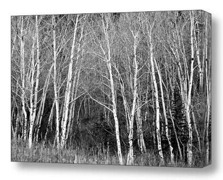 Black and White Fine Art Photography Print and Canvas Art Aspen Trees