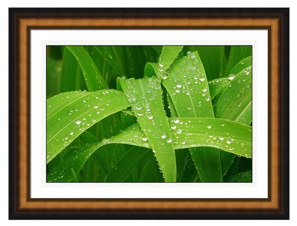 Corn Leaves After The Rain Framed Print