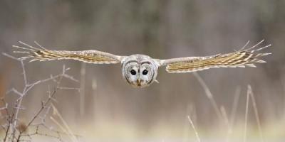 Barred Owl in Flight by Scott Linstead