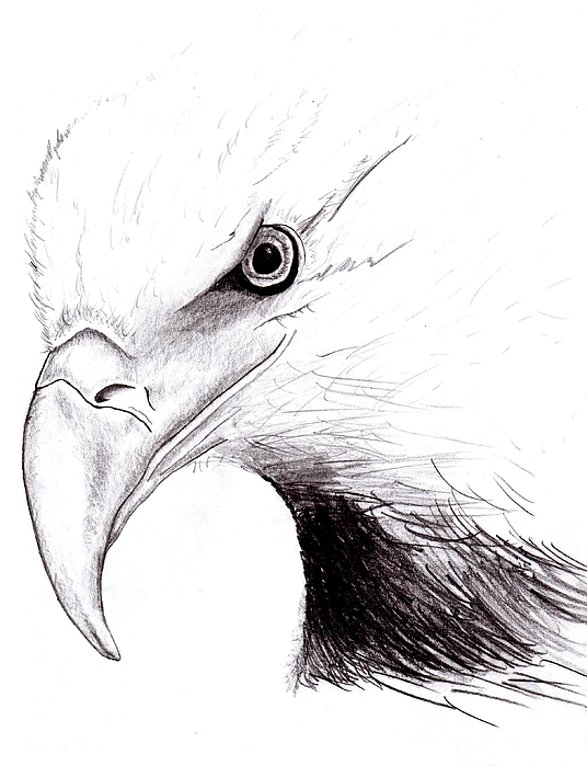 American Eagle Drawing by Peter Landis