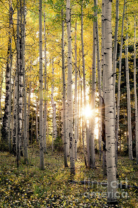 Wood Iphone 6 Wallpaper Evening In An Aspen Woods Vertical Photograph By The