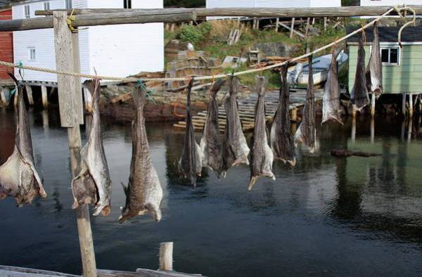Hanging Fish To Dry In Salvage Newfoundland by Tatiana Travelways