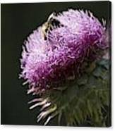 Bee On Thistle Canvas Print