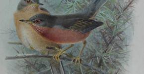watercolor bird paintings