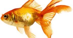 goldfish-paintings
