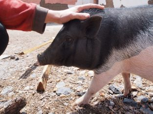 Giving tiny pig a scratch.