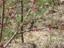 Sparrow on an apple tree in a field