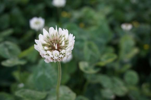 clover-1761316_1280