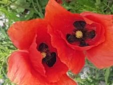 Poppie flower