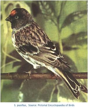 S. pusillus PictEnclBirds 430px