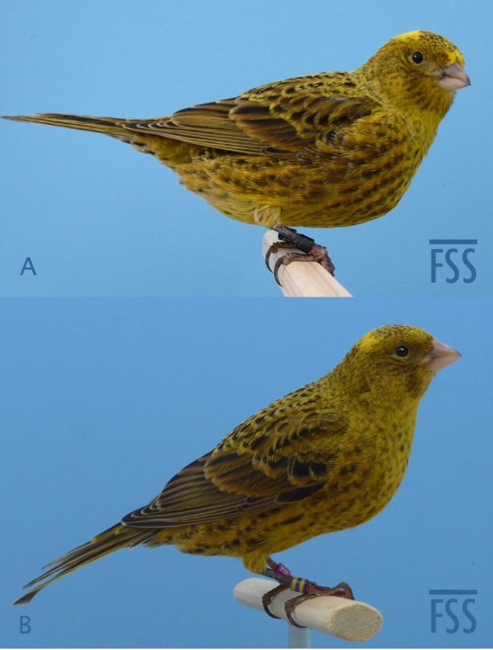 5. Broken cap gold Lizard canaries
