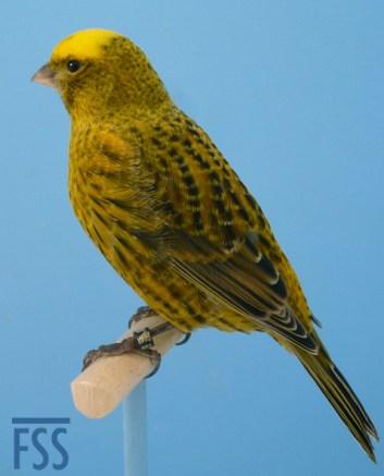 Short cap gold male Lizard canary