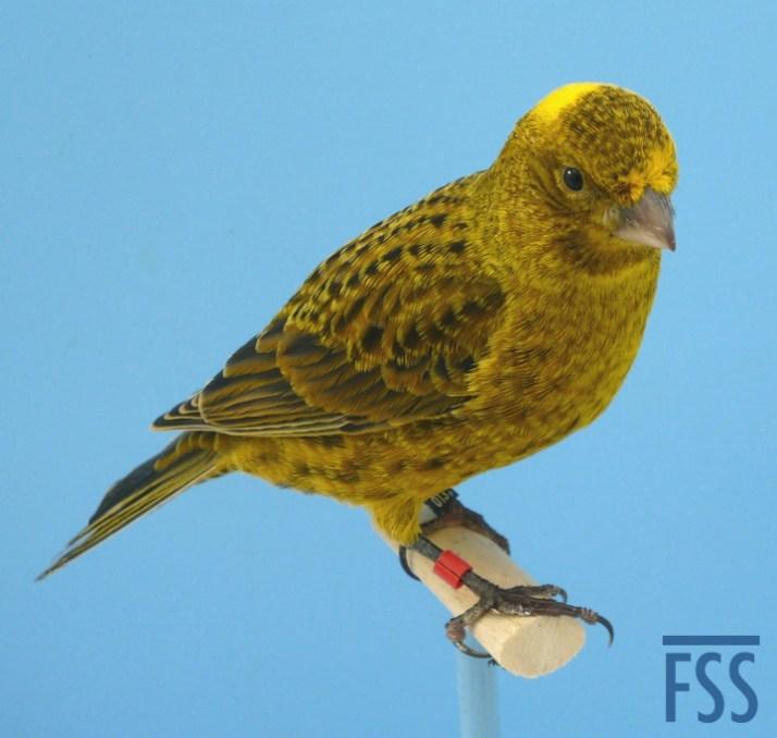 Broken cap gold male Lizard canary