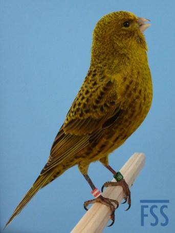 Gold male Lizard canary 2014