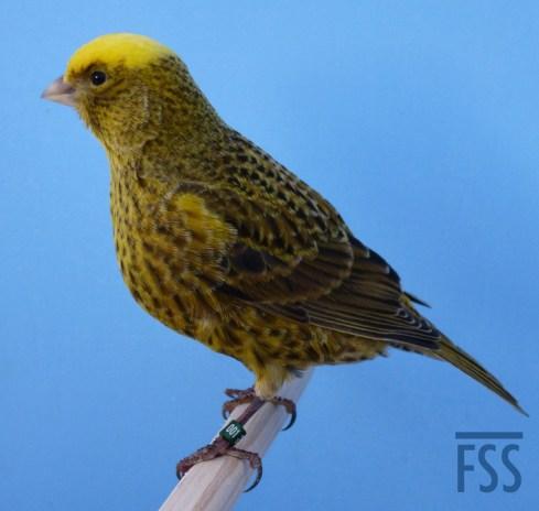 Clear cap gold Lizard canary 2014