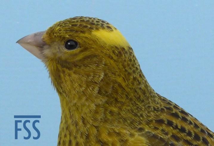 Broken cap gold female canary crown