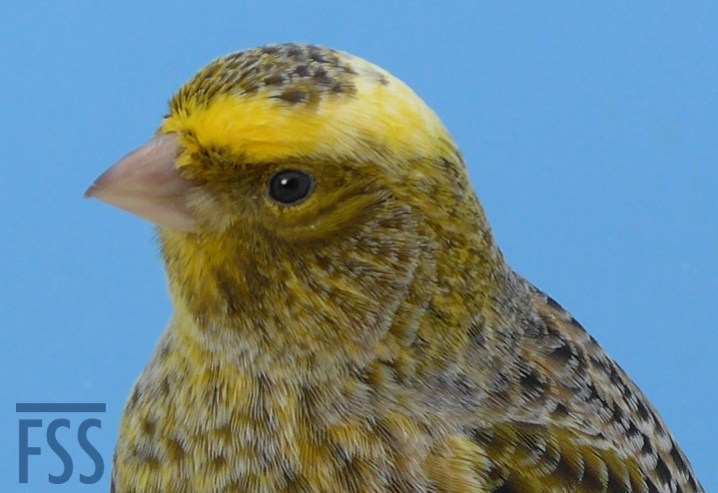 Broken cap male silver canary crown