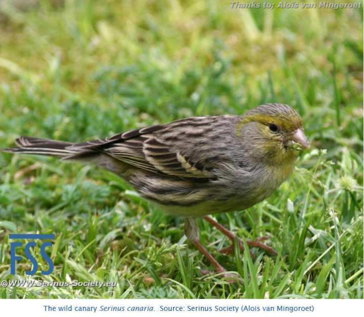 Wild canary (Serinus Society)-FSS