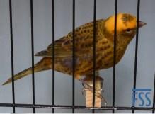 Broken cap gold cock Lizard canary-???