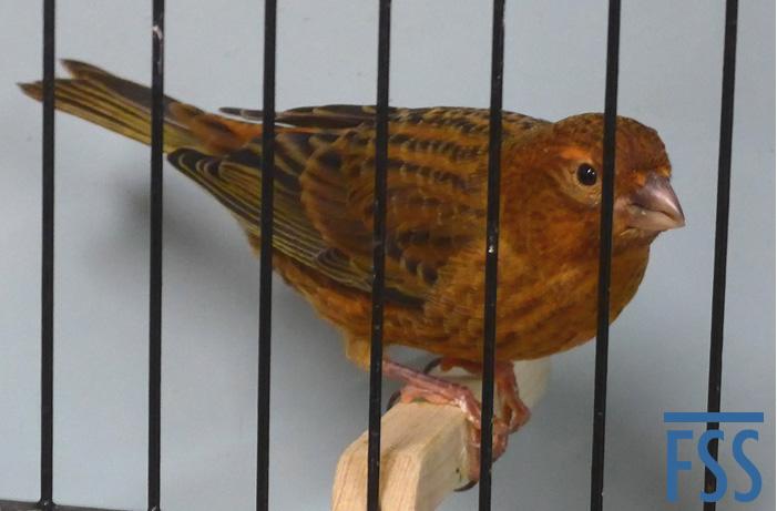 Darran Keeley's Best Lizard canary