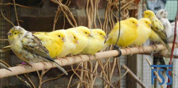 Piet Renders' pensioners (birds over 3 years old)